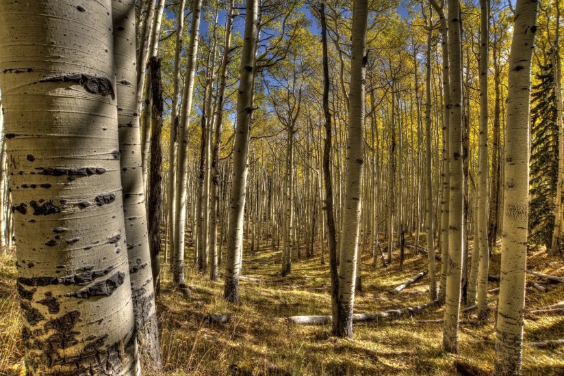 James McGinn - Inner Basin Flagstaff Aspens, 2015