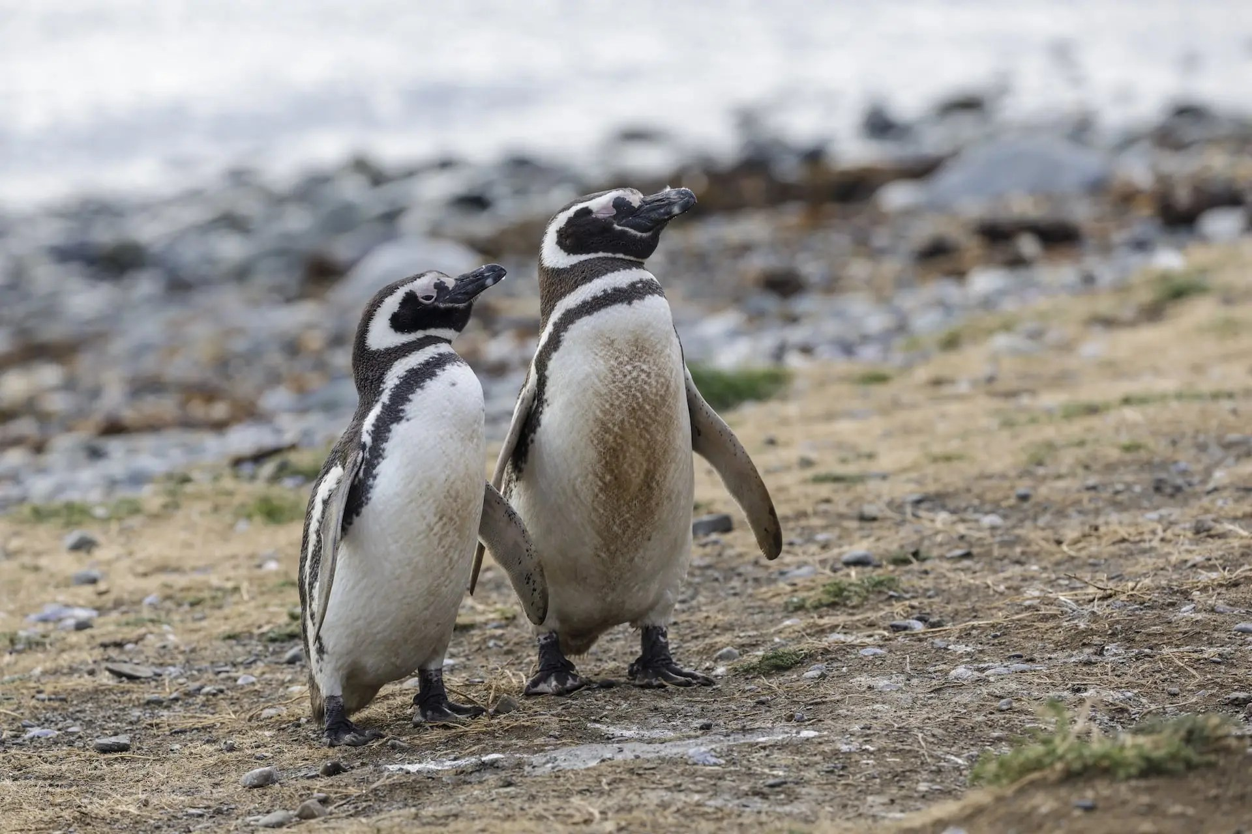 Patagonia Penguins (C) Julian Elliott Photography