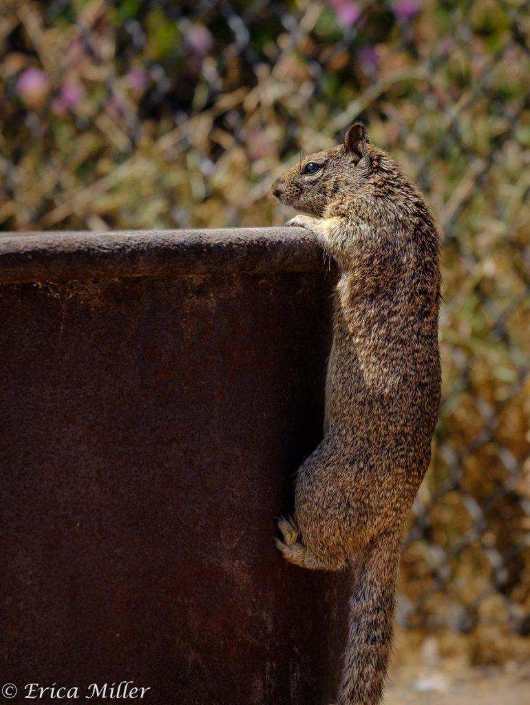 Erica Miller - Squirrel visiting the campsite