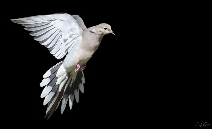 Cindy Croissant - Mourning Dove in flight