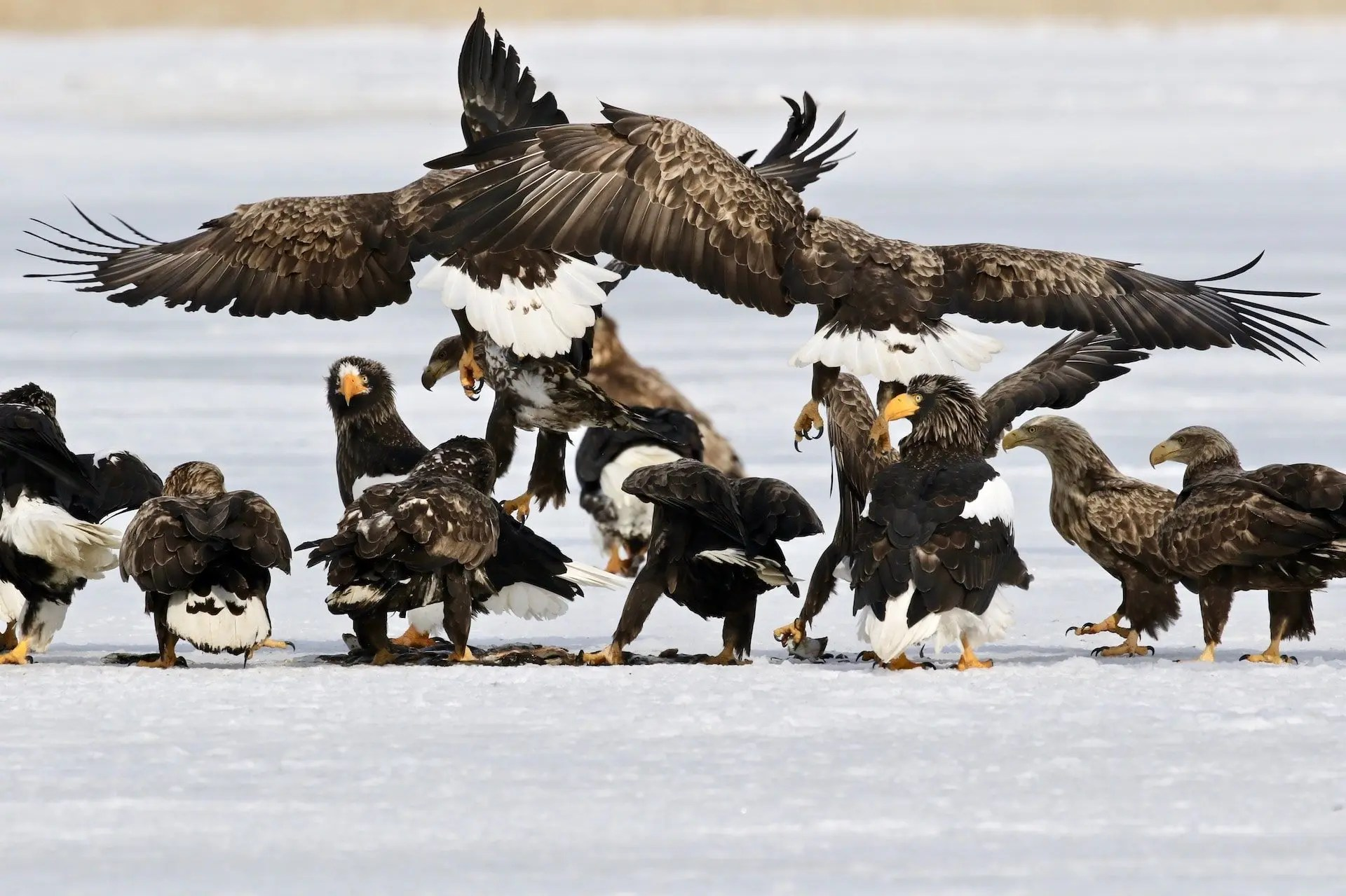 Frimmel Smith - Steller's and White-tailed Sea Eagles at the trough