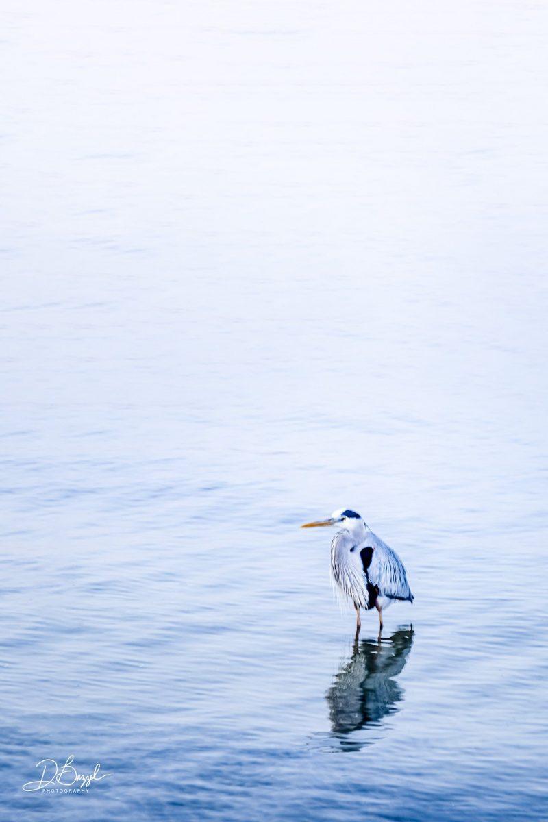 Duane Bazzel - Mission Bay Heron