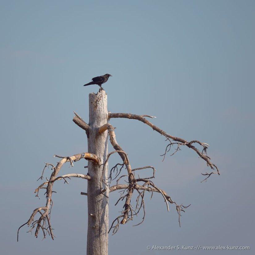 Alexander S. Kunz - Raven on the snag of a dead Jeffrey Pine, Laguna Mountains, California. July 2021.