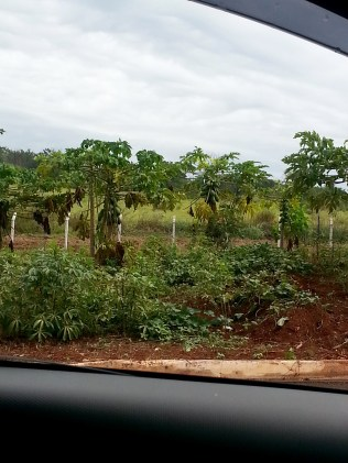 An avenue with papaya trees. In fact, there's also an avenue of coffee plants called Avenue do Cafe.