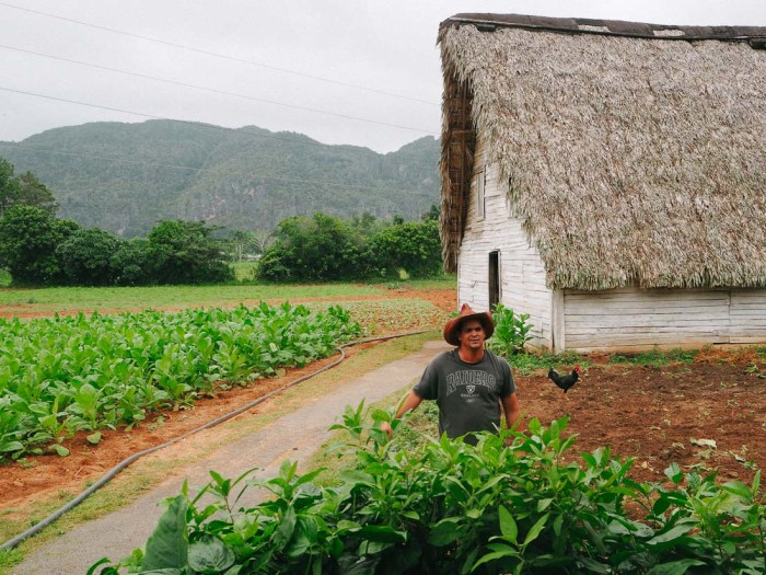 champ de tabac à vinales cuba