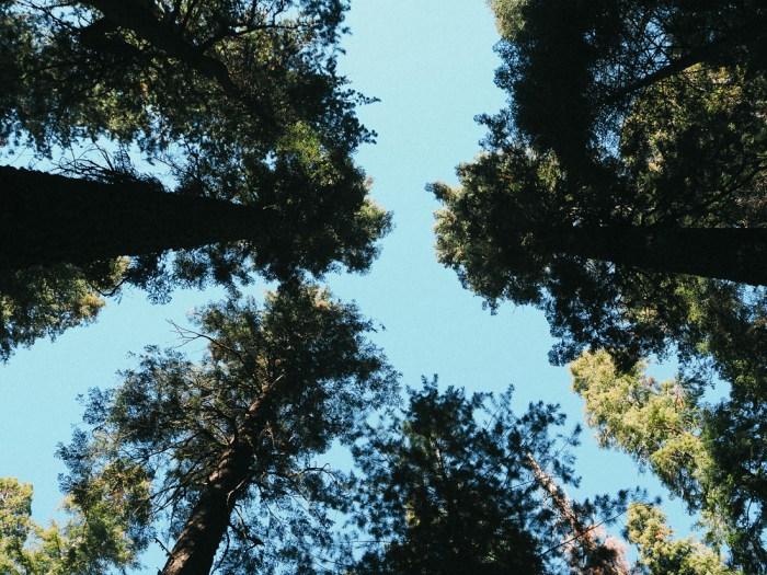 quelle est la hauteur des sequoias géants