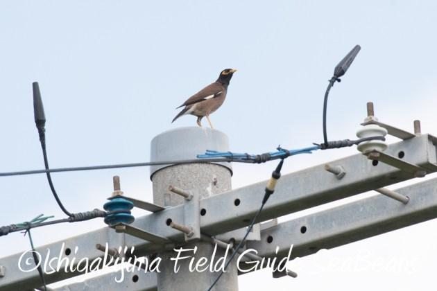7月30日 石垣島 バードウオッチング&野鳥撮影13