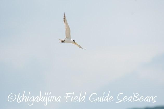 7月30日 石垣島 バードウオッチング&野鳥撮影17