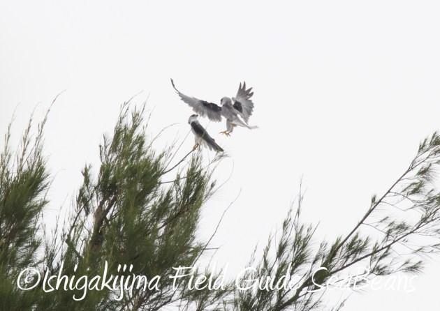 7.17-石垣島 バードウオッチング 野鳥撮影 ガイド11