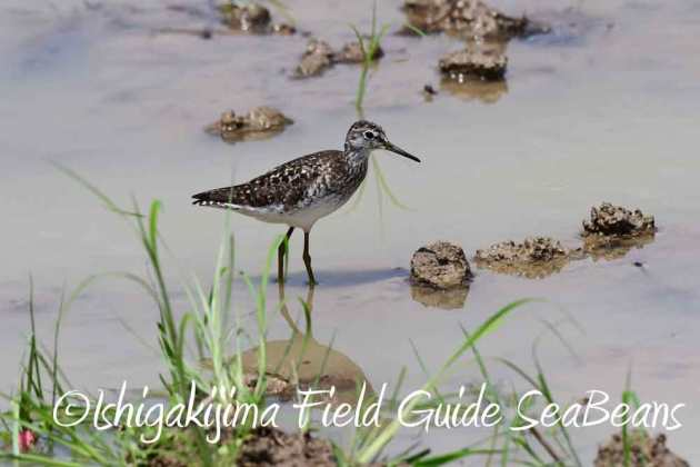 7月27日 石垣島の野鳥4
