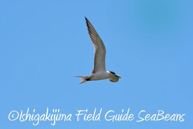 7.22-石垣島 野鳥 バードウオッチング 撮影ガイド9
