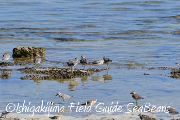 7月29日 石垣島バードウオッチング&野鳥撮影18