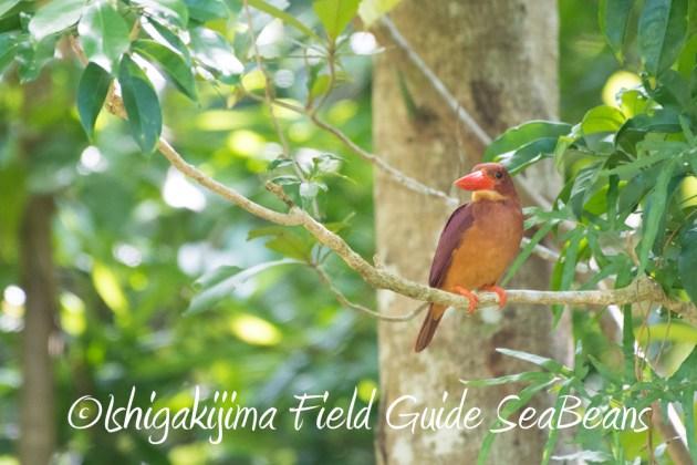 7.17-石垣島 バードウオッチング 野鳥撮影 ガイド2