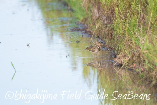 7月31日石垣島 野鳥撮影 バードウオッチング3