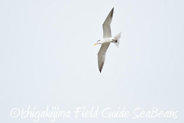 8月13日石垣島バードウオッチング&野鳥撮影7