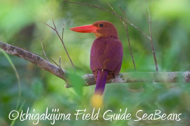 8月2日石垣島 バードウオッチング 野鳥撮影2