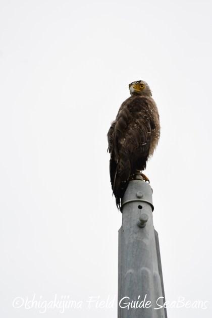 8月13日石垣島バードウオッチング&野鳥撮影1