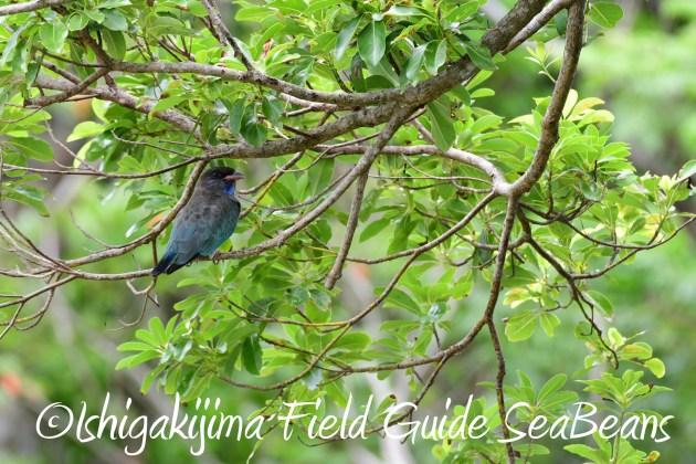 8月12日石垣島バードウオッチング&野鳥撮影16