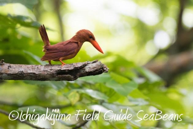 8月10日石垣島 バードウオッチング&野鳥撮影9