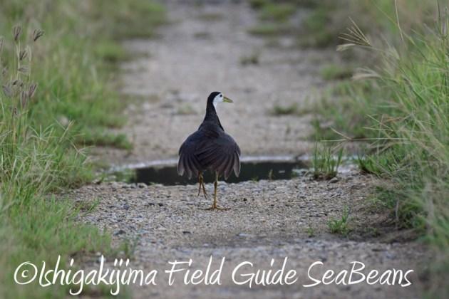 8月6日 石垣島の野鳥 バードウオッチング9