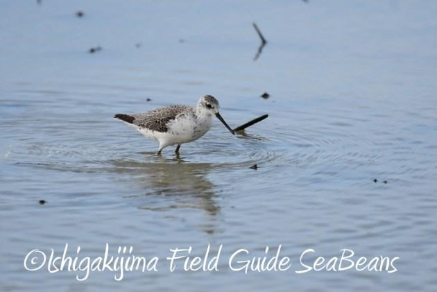 8月2日石垣島 バードウオッチング 野鳥撮影5