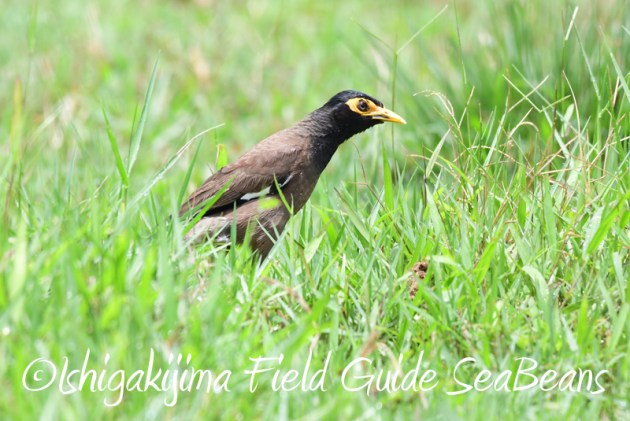 8月10日石垣島 バードウオッチング&野鳥撮影12