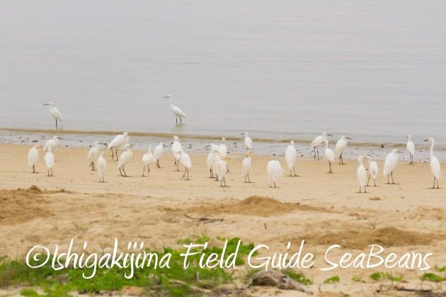 8月31日石垣島バードウオッチング&野鳥撮影1