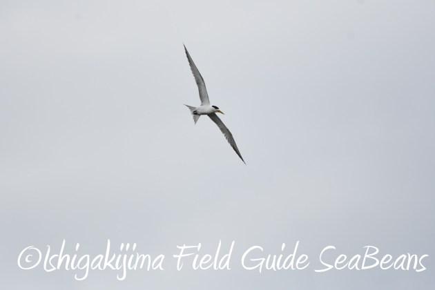 8月27日石垣島バードウオッチング&野鳥撮影10