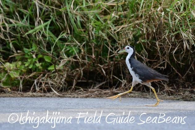 8月2日石垣島 バードウオッチング 野鳥撮影20