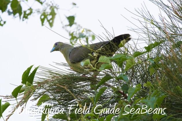 8月25日石垣島バードウオッチング&野鳥撮影ガイド16