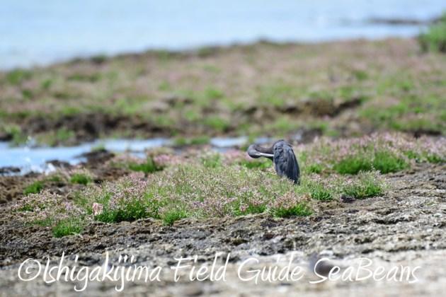 8月9日石垣島の野鳥 バードウオッチング5