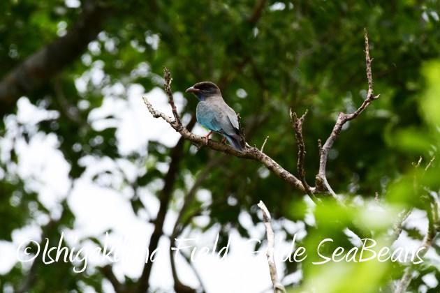 8月16日石垣島 バードウオッチング&野鳥撮影ガイド11
