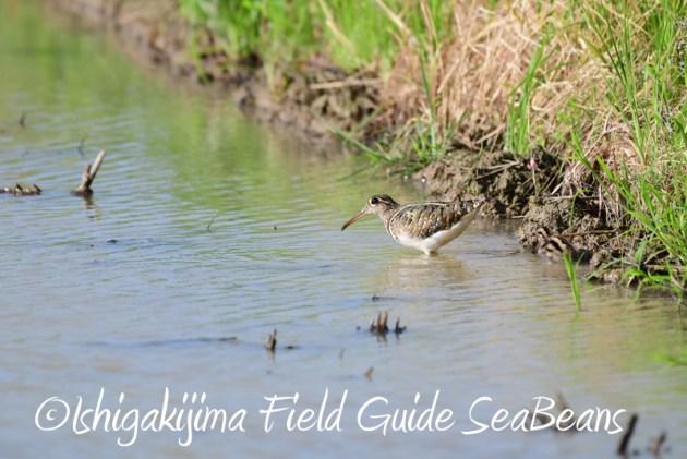 8月2日石垣島 バードウオッチング 野鳥撮影7