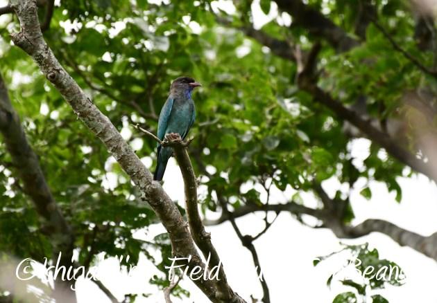 8月12日石垣島バードウオッチング&野鳥撮影17