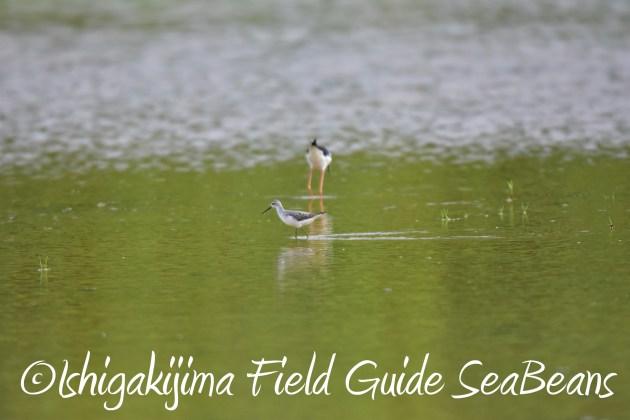 8.28石垣島バードウオッチング&野鳥撮影4