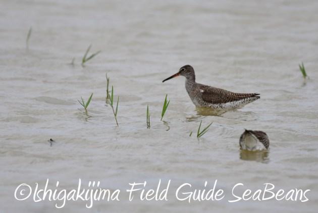 8月6日 石垣島の野鳥 バードウオッチング7