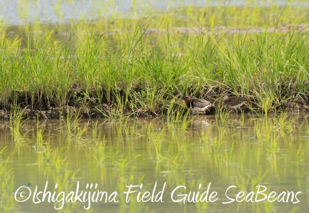 8月27日石垣島バードウオッチング&野鳥撮影1