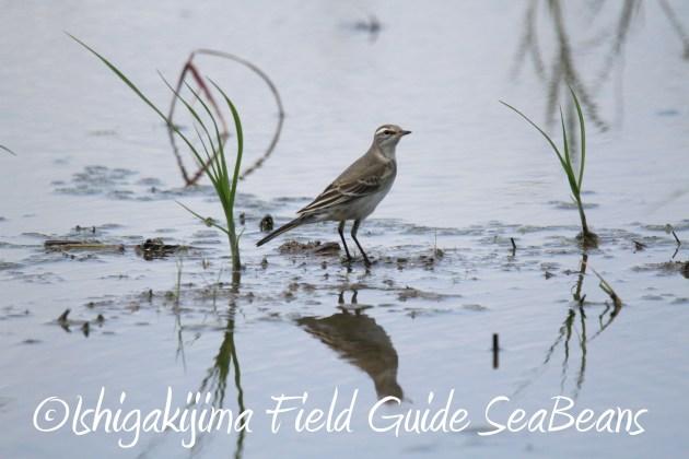 8月29日石垣島バードウオッチング&野鳥撮影10