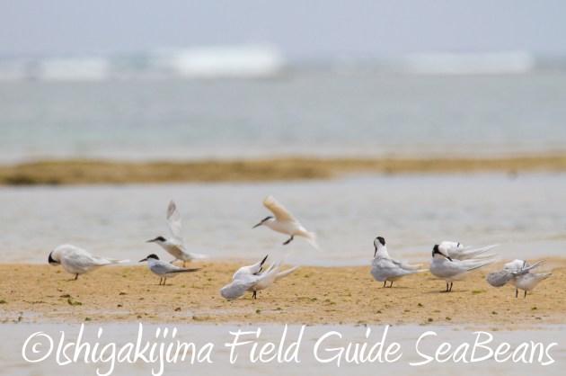 9月3日石垣島バードウオッチング&野鳥撮影ガイド19