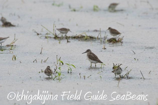 9月6日石垣島バードウオッチング&野鳥撮影ガイド2