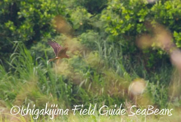 9月3日石垣島バードウオッチング&野鳥撮影ガイド16