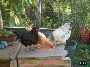 Chickens eating at bird feeding startion