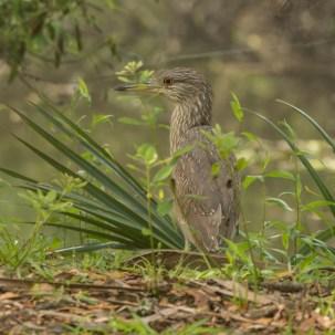Immature Black-crowned Night-Heron - Ed Konrad