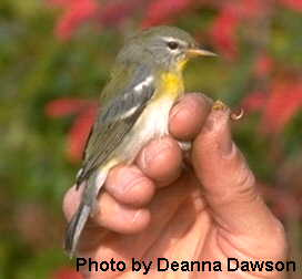 Northern Parula (Female) - USGS