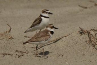 A pair of Wilson's Plovers on North Beach - Ed Konrad