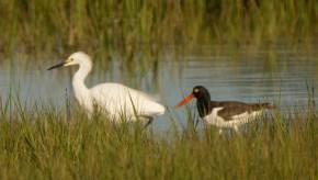 American Oystercatcher & Snowy Egret at marsh on Jenkins Point - Ed Konrad