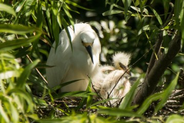 Snowy Egret with young at Jenkins Point Rookery - Ed Konrad