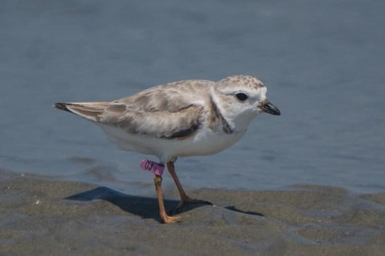 Piping Plover - North Beach, Seabrook Island - Ed Konrad