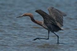 Reddish Egret - North Beach, Seabrook Island - Ed Konrad