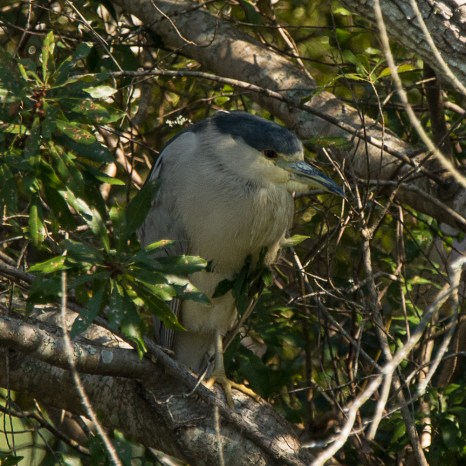 Black-crowned Night-Heron hiding in the shrubs next to Palmetto Lake - Ed Konrad